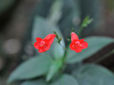 Small Bright Red Flower Double