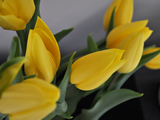 Yellow Tulip Group