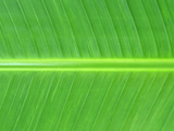 Green Stem Palm Leaf Close up